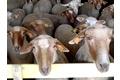 agneau-sisteron-race-mourerousjpg